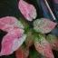 ต้นบอนสี สิทธิภูวนัย ขนาดกระถาง6นิ้ว thumbnail 1