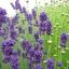 หัวน้ำหอมกลิ่น Lavender thumbnail 1